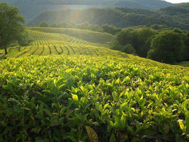 Курортный Сочи: Мацеста, чайная фабрика иплантация, ферма Экзархо