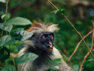 Лес Джозани: царство красных обезьян