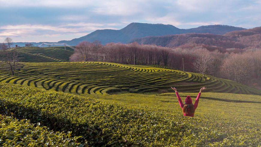 Солохаул: история итрадиции чаеводства вСочи